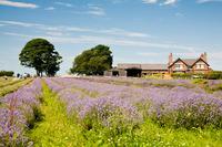 Inglenook Farm lavender fields